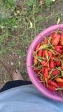 Примите их от дерева chili стоковое изображение rf