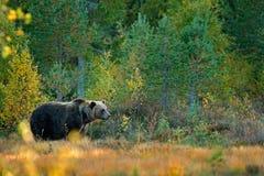 Принесите спрятанный в желтых деревьях осени леса с медведем Красивый бурый медведь идя вокруг озера с цветами падения Опасное жи стоковые фотографии rf