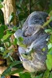 принесите koala стоковое фото rf