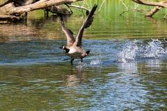 принимать гусыни полета Канады Стоковое Изображение