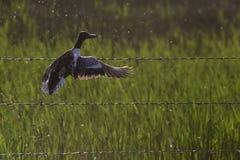 принимать полета утки Стоковые Фотографии RF