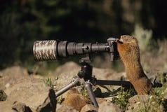 принимать фото marmot Стоковые Фотографии RF