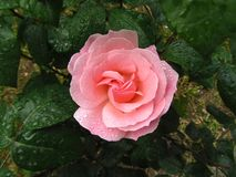 Принцесса розы пинка стоковая фотография