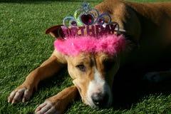 Принцесса Шляпа дня рождения собаки терьера питбуля нося стоковые изображения