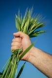 Принципиальная схема Wheat.Harvest Стоковые Фотографии RF
