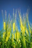 Принципиальная схема Wheat.Harvest Стоковая Фотография