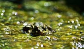 Принц болота Стоковое Изображение RF
