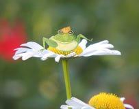 Принц зеленой лягушки с золотой кроной сидит на маргаритке лета Стоковая Фотография
