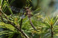 Принц Baskettail Dragonfly Стоковая Фотография RF