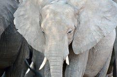 принятое лето 2007 национального парка слона chobe Ботсваны Стоковое Изображение