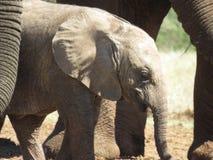 принятое фото 2009 слона младенца Стоковые Фото