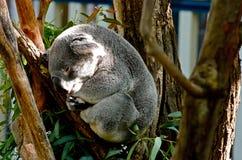 принятое фото koala медведя Австралии Стоковые Изображения