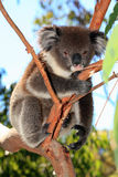 принятое фото koala медведя Австралии Стоковая Фотография RF