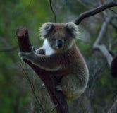 принятое фото koala медведя Австралии Стоковая Фотография