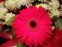 Принятый макрос шарлаха, красного цветка Стоковая Фотография RF