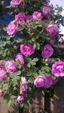 Принятый макрос шарлаха, красного цветка Стоковое фото RF