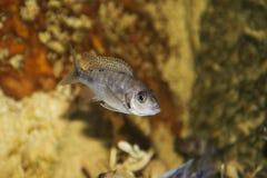 приобретенное aulonocara легко даже удит блестящий штапель sp lwanda хобби не который Рыба Стоковые Изображения