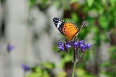 Припаркованный на лаванде, женщина бабочки леопарда Feige Стоковая Фотография RF
