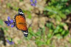 Припаркованный на лаванде, женщина бабочки леопарда Feige Стоковое Фото