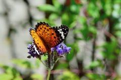 Припаркованный на лаванде, женщина бабочки леопарда Feige Стоковая Фотография