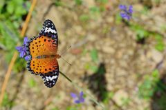 Припаркованный на лаванде, женщина бабочки леопарда Feige Стоковые Фотографии RF