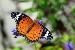 Припаркованный на лаванде, женщина бабочки леопарда Feige Стоковое Изображение