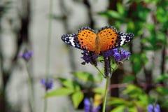 Припаркованный на лаванде, женщина бабочки леопарда Feige Стоковые Фото