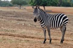 припаркуйте зебру Стоковое Фото