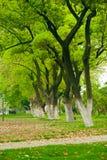 Припаркуйте строку больших плоских деревьев Стоковые Фото