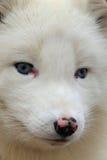Приполюсная лисица Стоковые Фото
