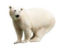 приполюсное изолированное медведем Стоковое Фото