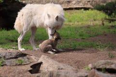 Приполюсный волк Стоковые Изображения RF