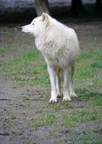 приполюсный волк 3 Стоковая Фотография
