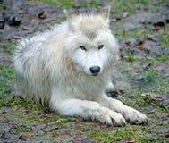 приполюсный волк 6 Стоковые Фотографии RF