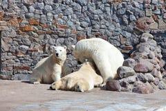 Приполюсный она-медведь Стоковая Фотография RF