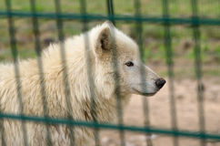 Приполюсный волк в клетке Стоковая Фотография