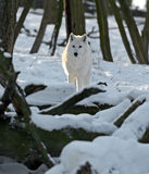 Приполюсный волк Стоковые Фото