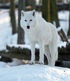 Приполюсный волк Стоковые Фотографии RF