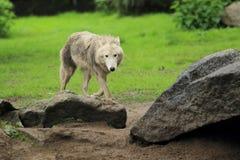 Приполюсный волк Стоковое Фото
