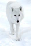 Приполюсный волк Стоковое Изображение