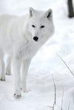 Приполюсный волк Стоковое Изображение RF