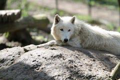 Приполюсный волк Стоковая Фотография RF