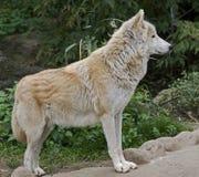 Приполюсный волк 7 Стоковые Изображения