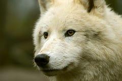 Приполюсный волк Стоковые Изображения