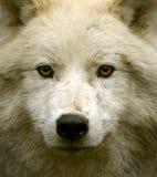 Приполюсный волк Стоковая Фотография
