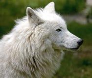 Приполюсный волк 9 Стоковое фото RF