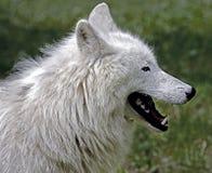 Приполюсный волк 8 Стоковые Фото