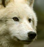 Приполюсный волк Стоковое фото RF