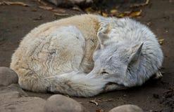 Приполюсный волк 16 Стоковое фото RF