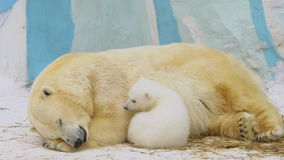 Приполюсный она-медведь подает ее новичок в зоопарке сток-видео